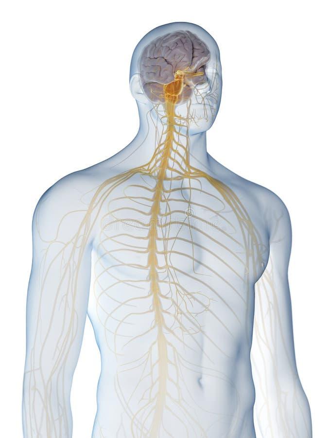 Le système nerveux illustration libre de droits