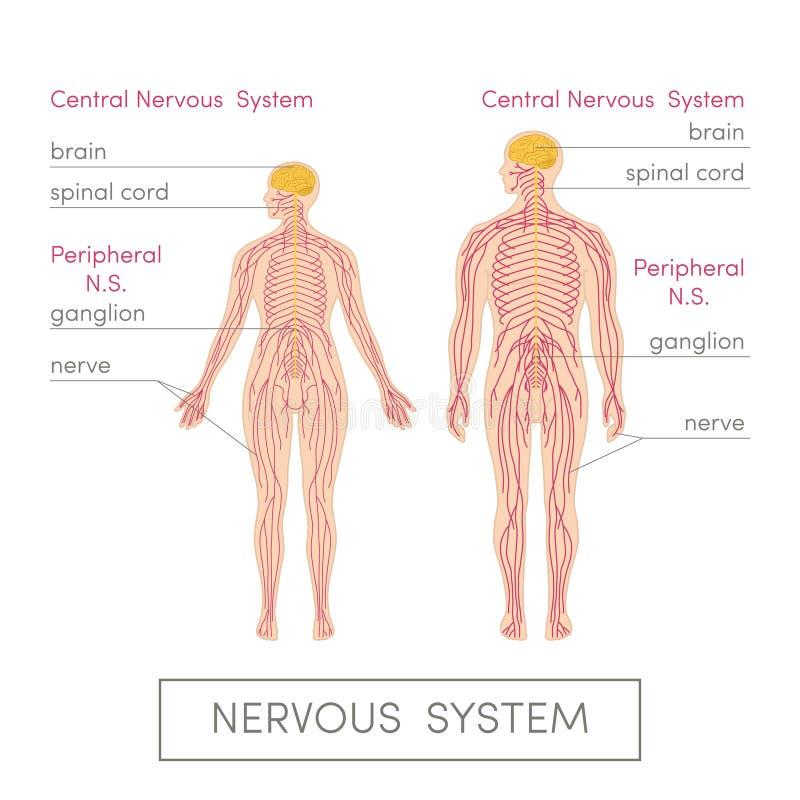 Le système nerveux illustration de vecteur