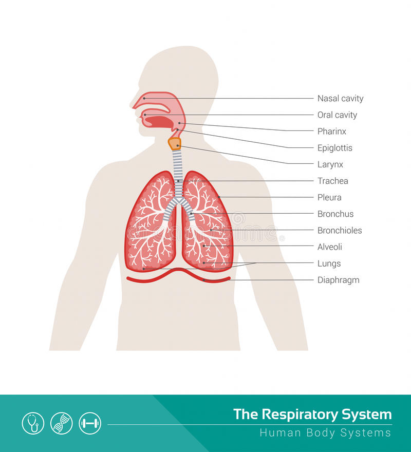 Le système respiratoire illustration de vecteur