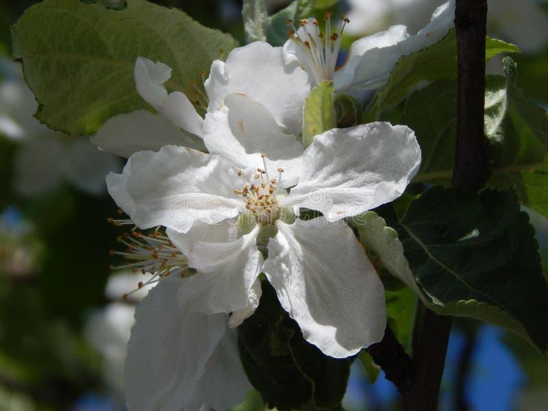 Le taiga de fleur de pomme est aussi beau que la pomme mûre elle-même photos libres de droits
