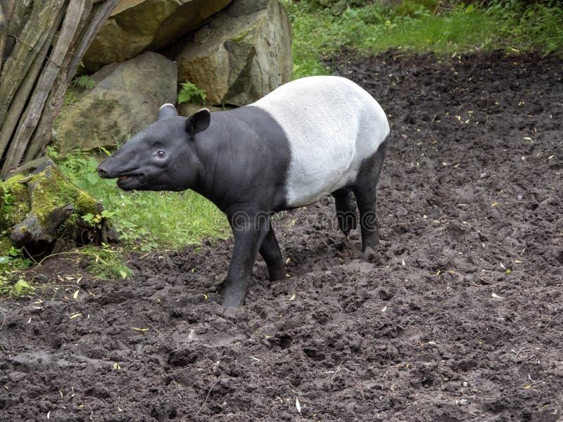 Le tapir asiatique, indicus de Tapirus, a une couleur noire et blanche curieuse photographie stock libre de droits