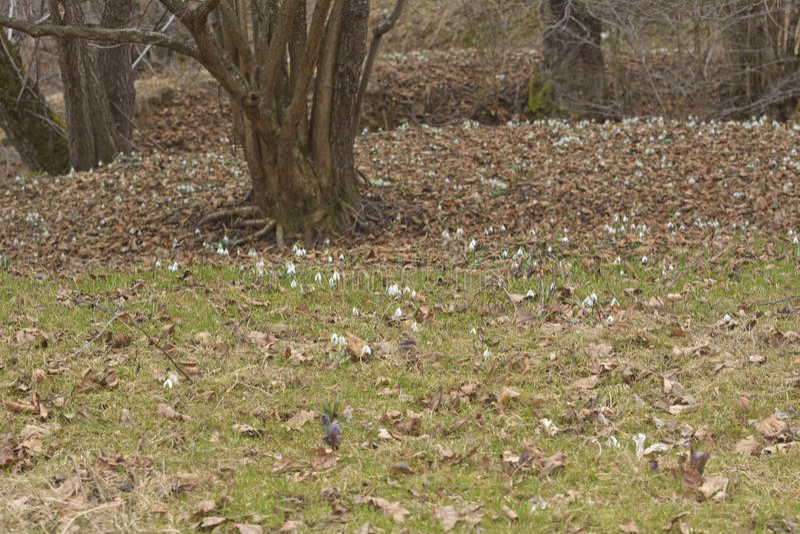 Le tapis de végétation des perce-neige dans des nivalis de Galanthus de forêt de zone inondable photos libres de droits