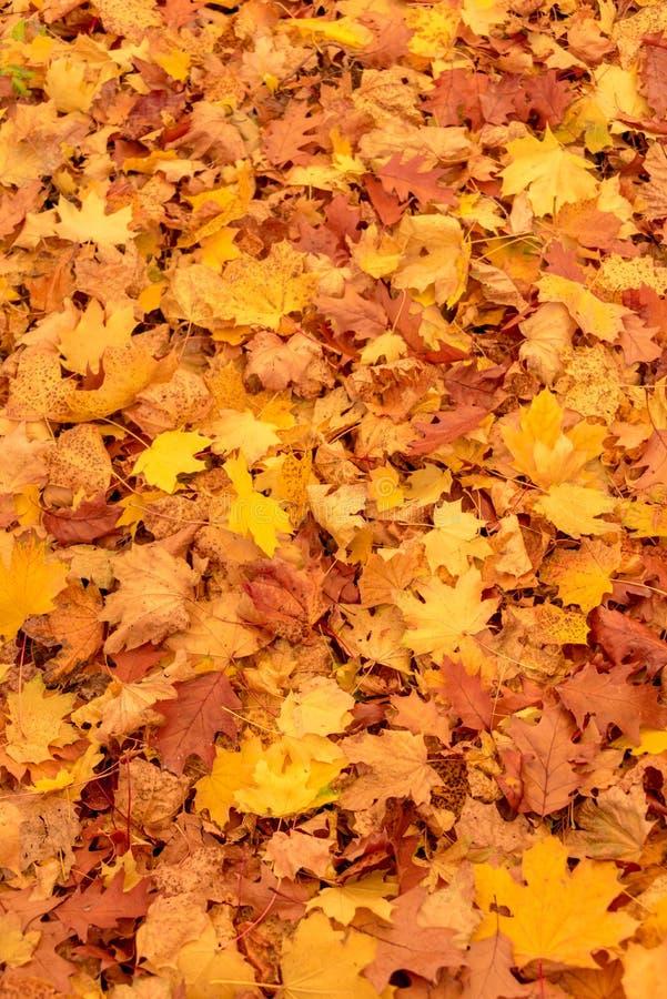 Le tapis des érables jaunes colorés part dans la chute photo libre de droits