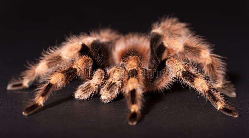 Le Tarantula noir et blanc brésilien images libres de droits