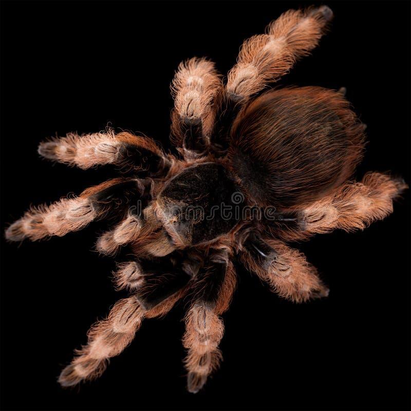 Le Tarantula noir et blanc brésilien photographie stock libre de droits