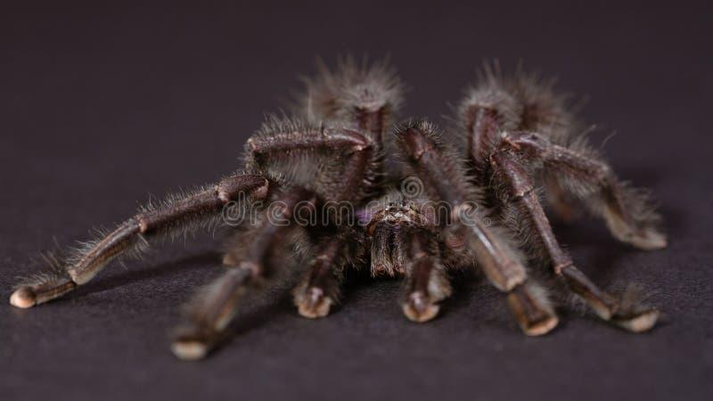 Le Tarantula pourpré de Pinktoe image stock