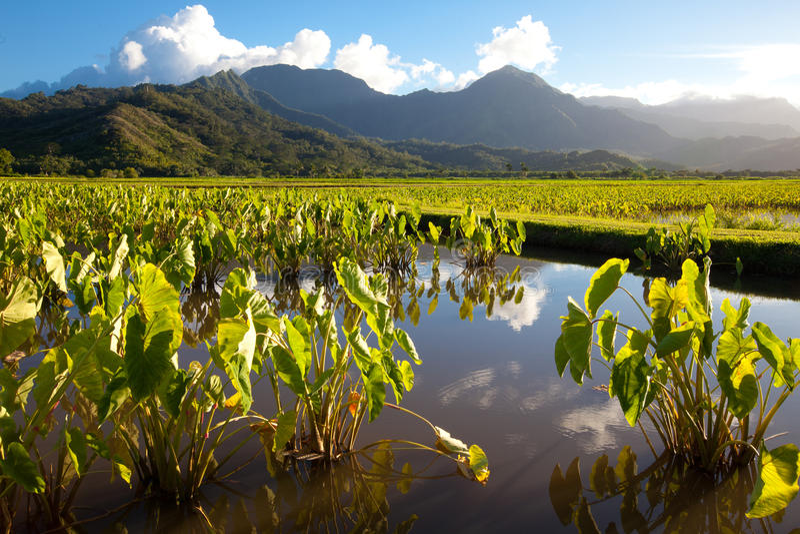 Le taro met en place, des montagnes, ciel bleu, île tropicale de Kauai photos stock