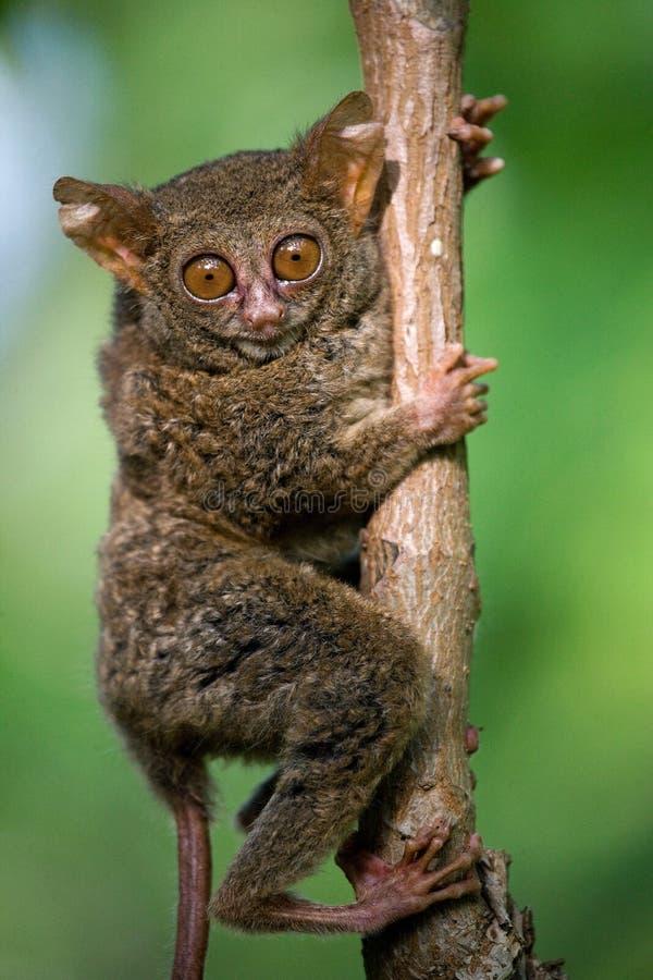 Le Tarsius se repose sur un arbre dans la jungle Plan rapproché l'indonésie Île de Sulawesi photo libre de droits