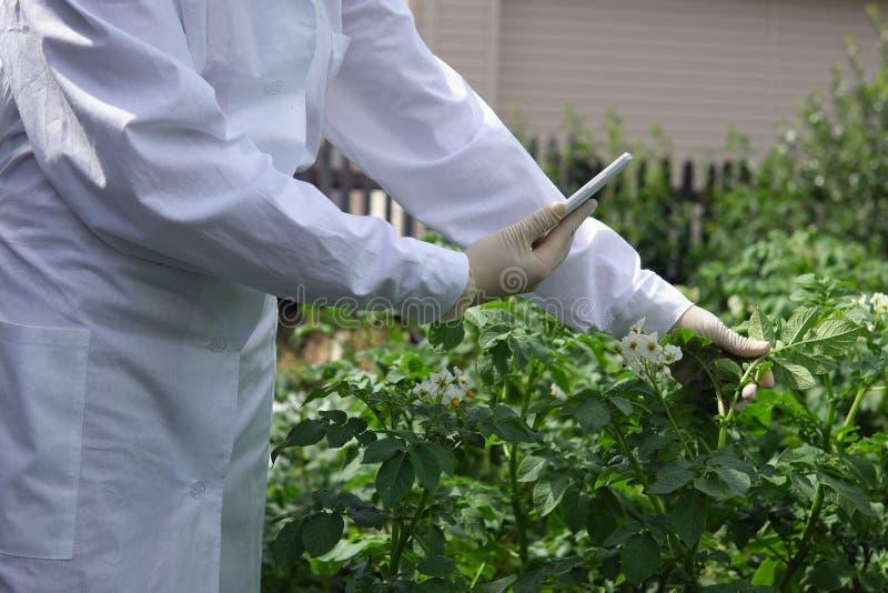 Le technicien de laboratoire féminin étudie la croissance des pommes de terre sur un site expérimental images libres de droits