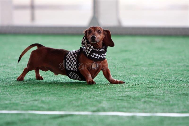 Le teckel mignon utilise l'équipement à carreaux de drapeau au festival de chien photo libre de droits