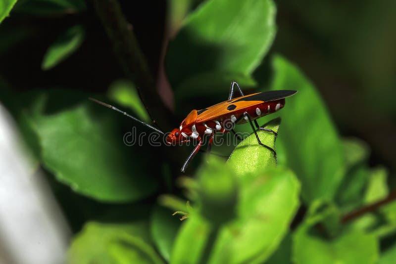 Le teinturier de coton sur des branches est considéré un insecte important photo libre de droits