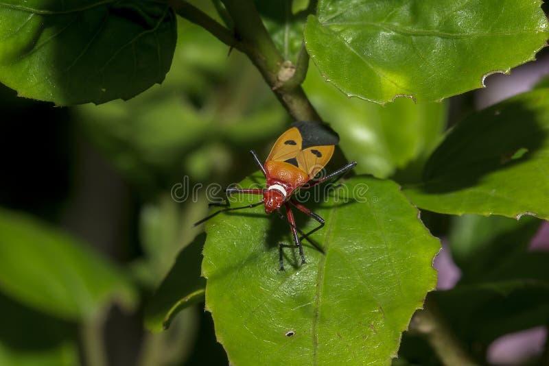 Le teinturier de coton sur des branches est considéré un insecte important photographie stock libre de droits