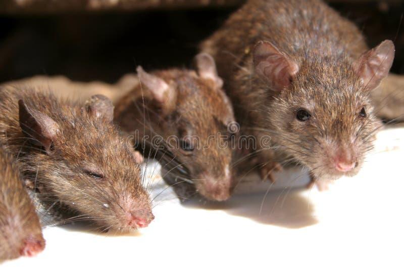 Le temple de rat photo libre de droits