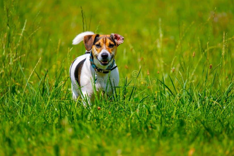 Le terrier de Jack Russell marche pendant l'été photographie stock