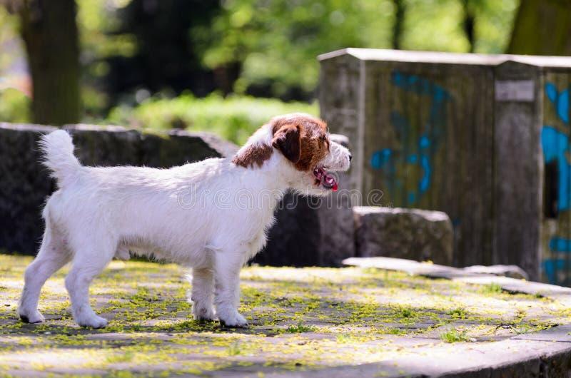 Le terrier de race de Russell de cric pose en parc d'été pour une photo Chien en longueur à l'appareil-photo photos stock