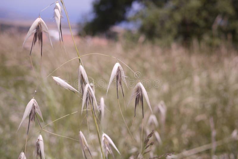 Le teste del seme dell'erba secca hanno spaccato aperto nel campo del Cipro immagini stock