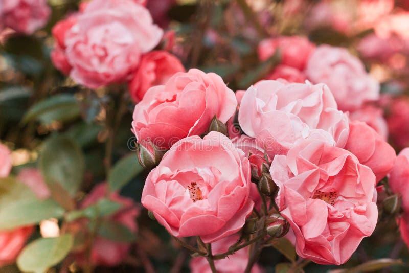 Le thé rose de buissons s'est levé dans un effet de film de vintage avec la tonalité images stock