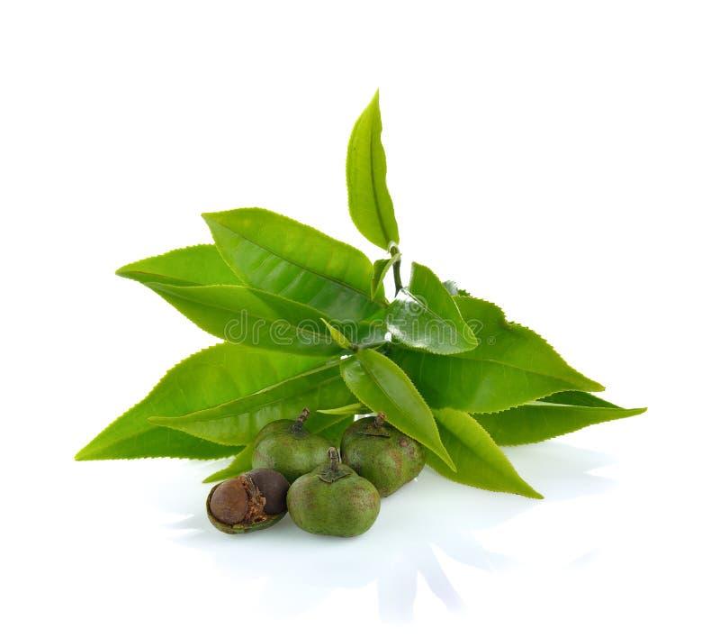 Le thé, sinensis de camélia part sur le fond blanc image stock