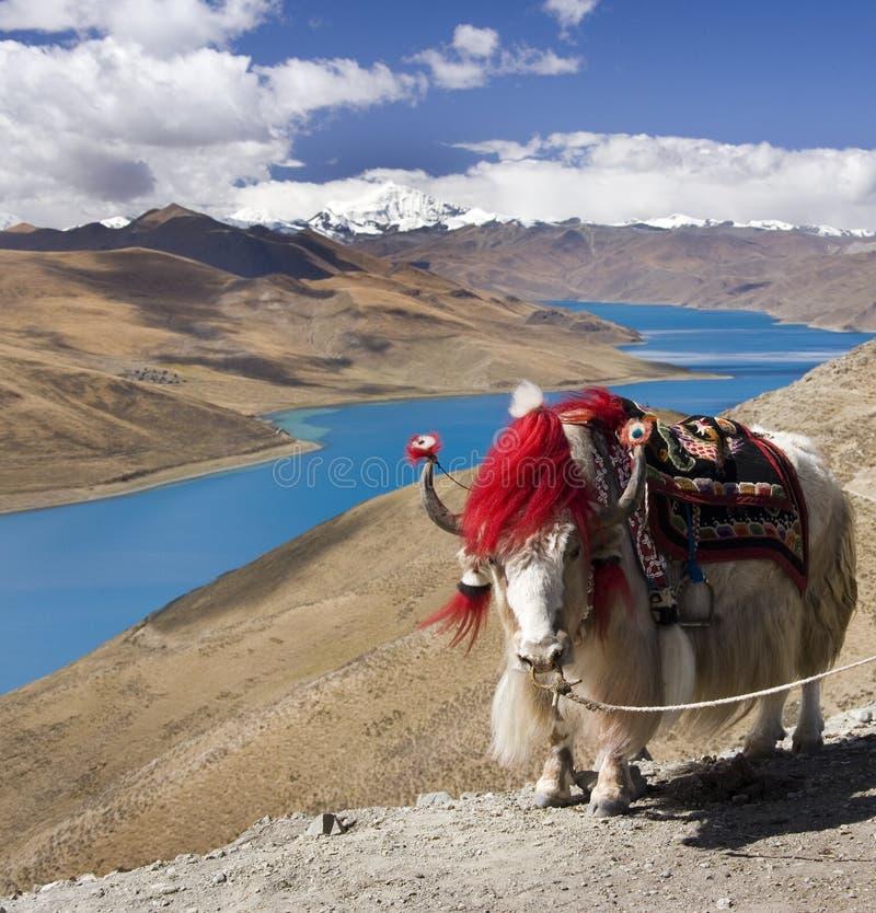Le Thibet - le lac Yamdrok - yaks - plateau tibétain image stock