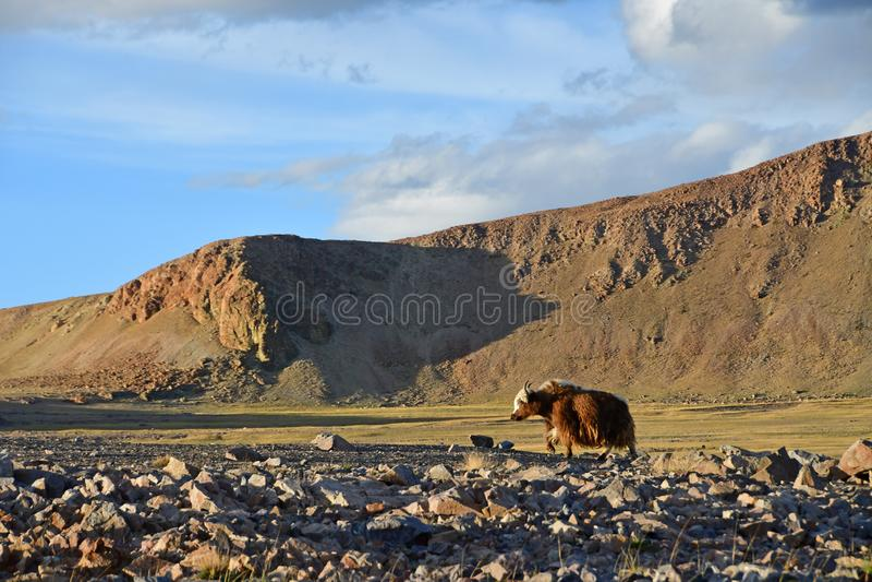 Le Thibet occidental Yaks de Brown sur le rivage du lac sacré Teri Tashi Namtso le soir photo libre de droits