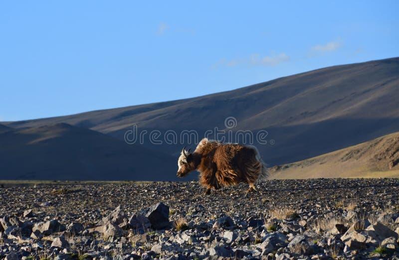 Le Thibet occidental Yaks de Brown sur le rivage du lac sacr? Teri Tashi Namtso le soir photographie stock libre de droits