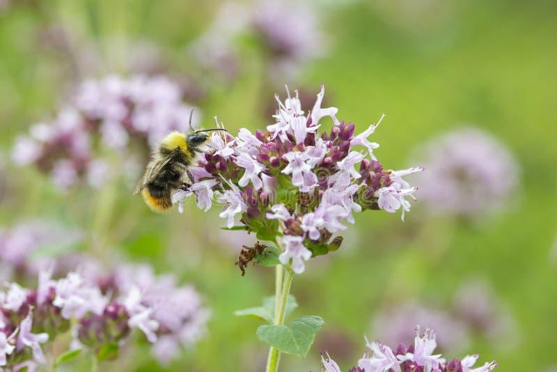 Le thym de floraison, guêpe pollinise les fleurs lilas du thym Épice parfumée d'herbe, fond en gros plan de papier peint photo stock
