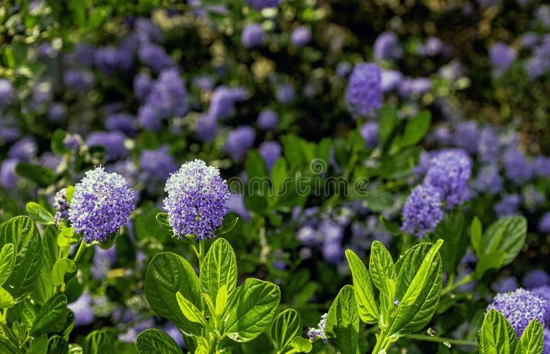 Le thyrsiflorus de Ceanothus, connu sous le nom de blueblossom ou ceanothus bleu de fleur, est un arbuste à feuilles persistantes images libres de droits