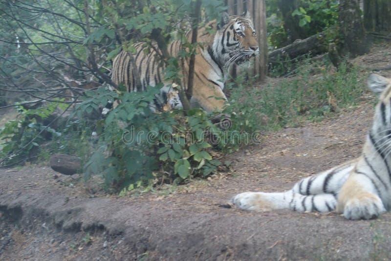 Le tigre barré va à la tigresse photos stock