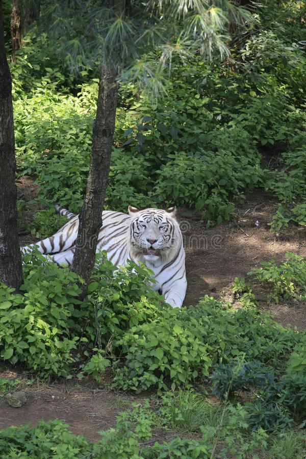 Le tigre blanc est l'un des quatre spiritueux de la mythologie chinoise antique Il a provenu du culte antique d'étoile et est Th images libres de droits