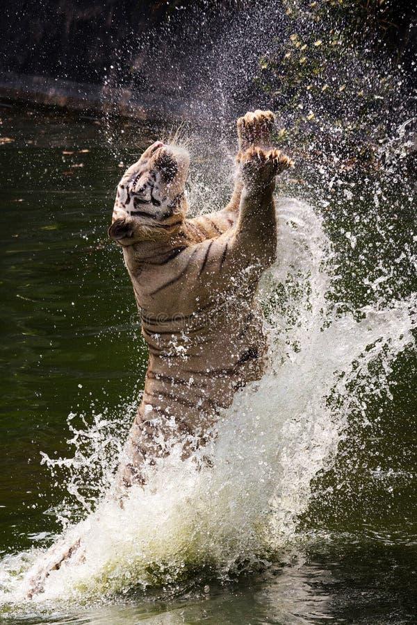 Le tigre blanc saute/sautant photographie stock libre de droits