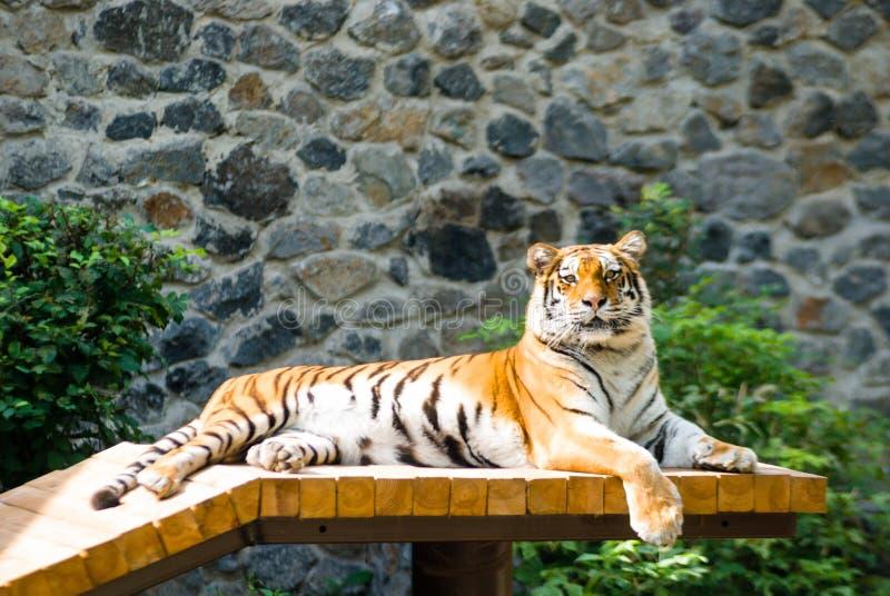 Le tigre dangereux mignon prend un bain de soleil le mensonge sur des rondins photographie stock
