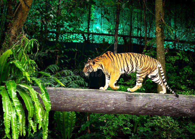 Le tigre de Bengale, tigre de Sumatran marche sur le zoo de bois de construction image libre de droits