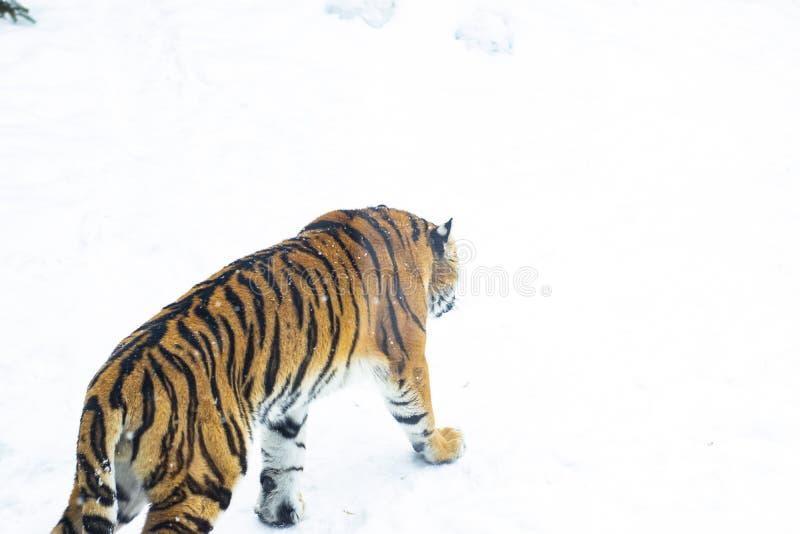 Le tigre entre dans l'abîme neigeux photo libre de droits