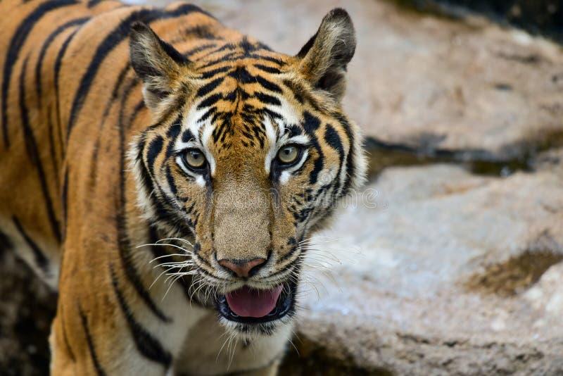Le tigre est dans le zoo, le tigre est un animal f?roce photo libre de droits