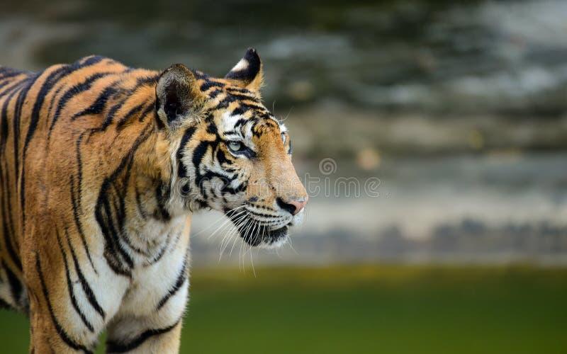Le tigre est dans le zoo, le tigre est un animal f?roce photographie stock