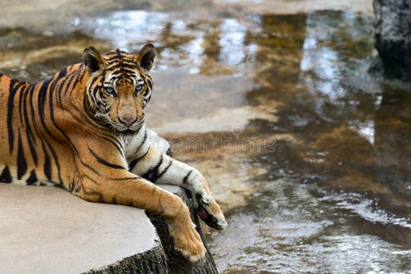Le tigre est dans le zoo, le tigre est un animal f?roce image libre de droits