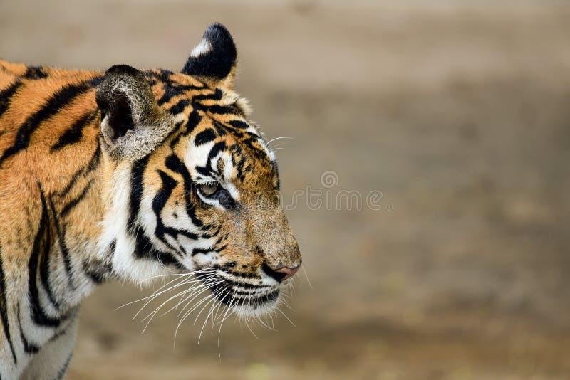 Le tigre est dans le zoo, le tigre est un animal f?roce images stock