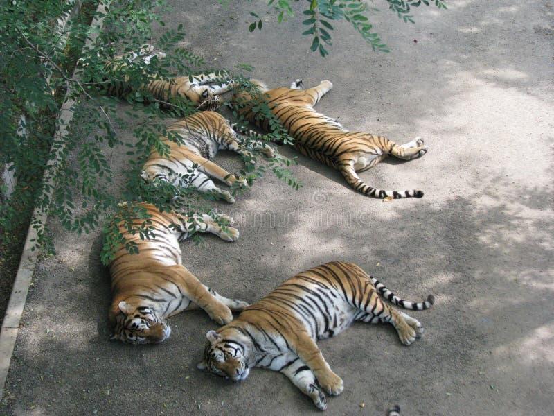 Le tigre féroce a pris un petit somme tranquille à la nuance fraîche image libre de droits