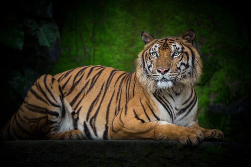 Le tigre indochinois se tapissent dans le naturel photographie stock