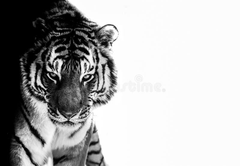 Le tigre observe noir et blanc photo stock