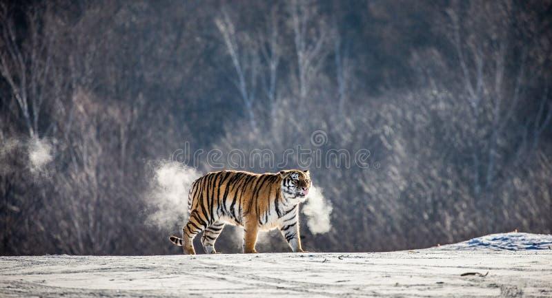 Le tigre sibérien marche en clairière neigeuse dans un nuage de vapeur dans une image très peu commune dure de gel La Chine harbi images libres de droits