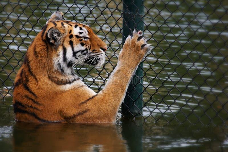 Le tigre sibérien regarde par une frontière de sécurité photo stock