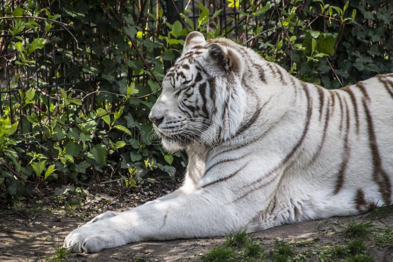 Le tigre sib?rien blanc s'?tend dans l'herbe Le tigre blanc est une variante de pigmentation du tigre de Bengale photographie stock libre de droits