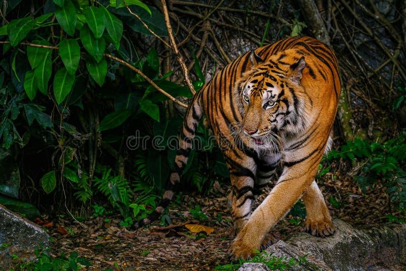 Le tigre sib?rien a ?galement appel? le tigre d'Amur image libre de droits