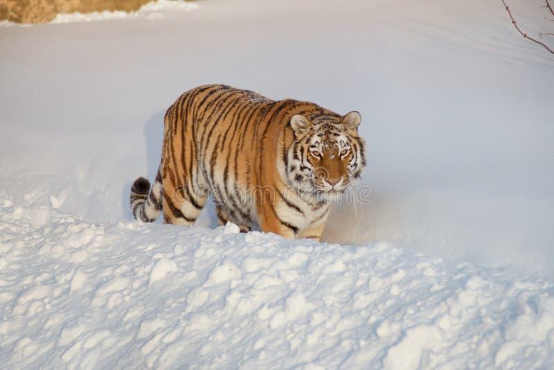 Le tigre sib?rien sauvage regarde dans la cam?ra Panthera le Tigre le Tigre photographie stock libre de droits
