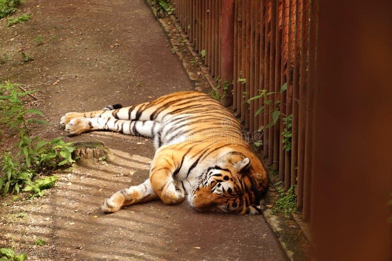 Le tigre somnole dans la cage Jour ensoleillé d'été photos libres de droits