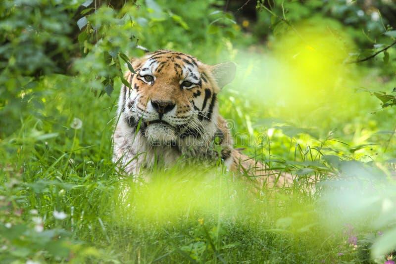 Le tigre somnolent se cache dans l'herbe photographie stock