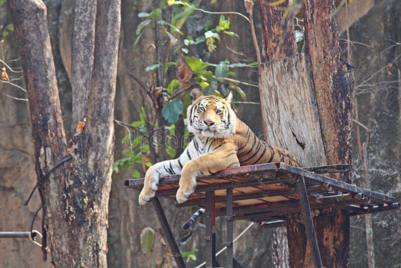 Le tigri vivono allo zoo in Tailandia fotografie stock libere da diritti