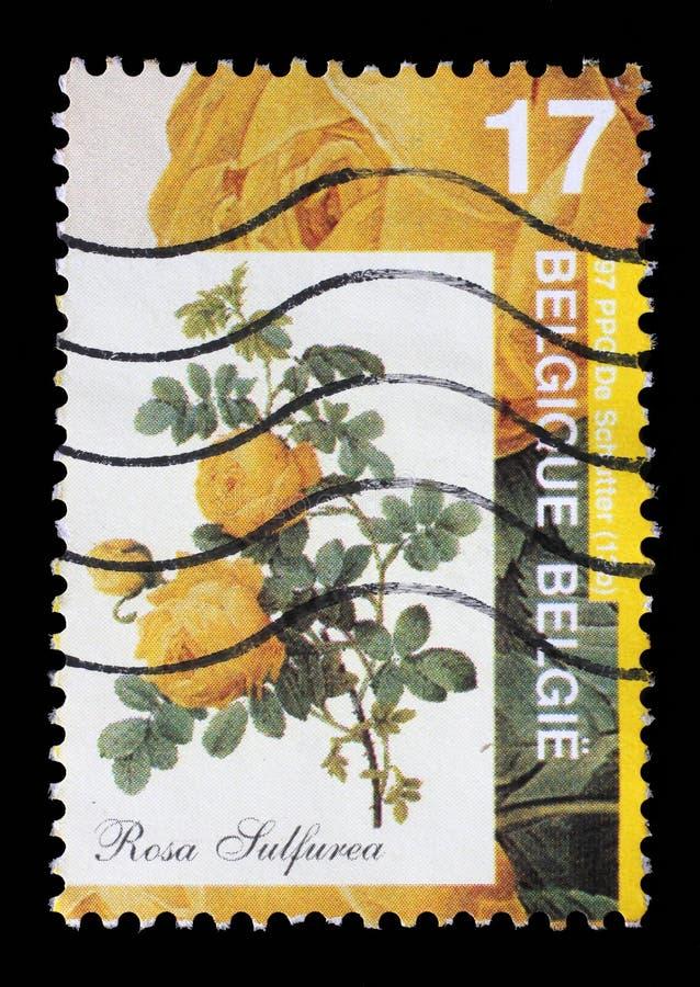 Le timbre imprimé par la Belgique montre Rose photographie stock libre de droits