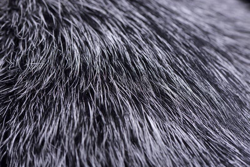 Le tir étroit de l'les bétail australiens poursuivent des cheveux du ` s photographie stock